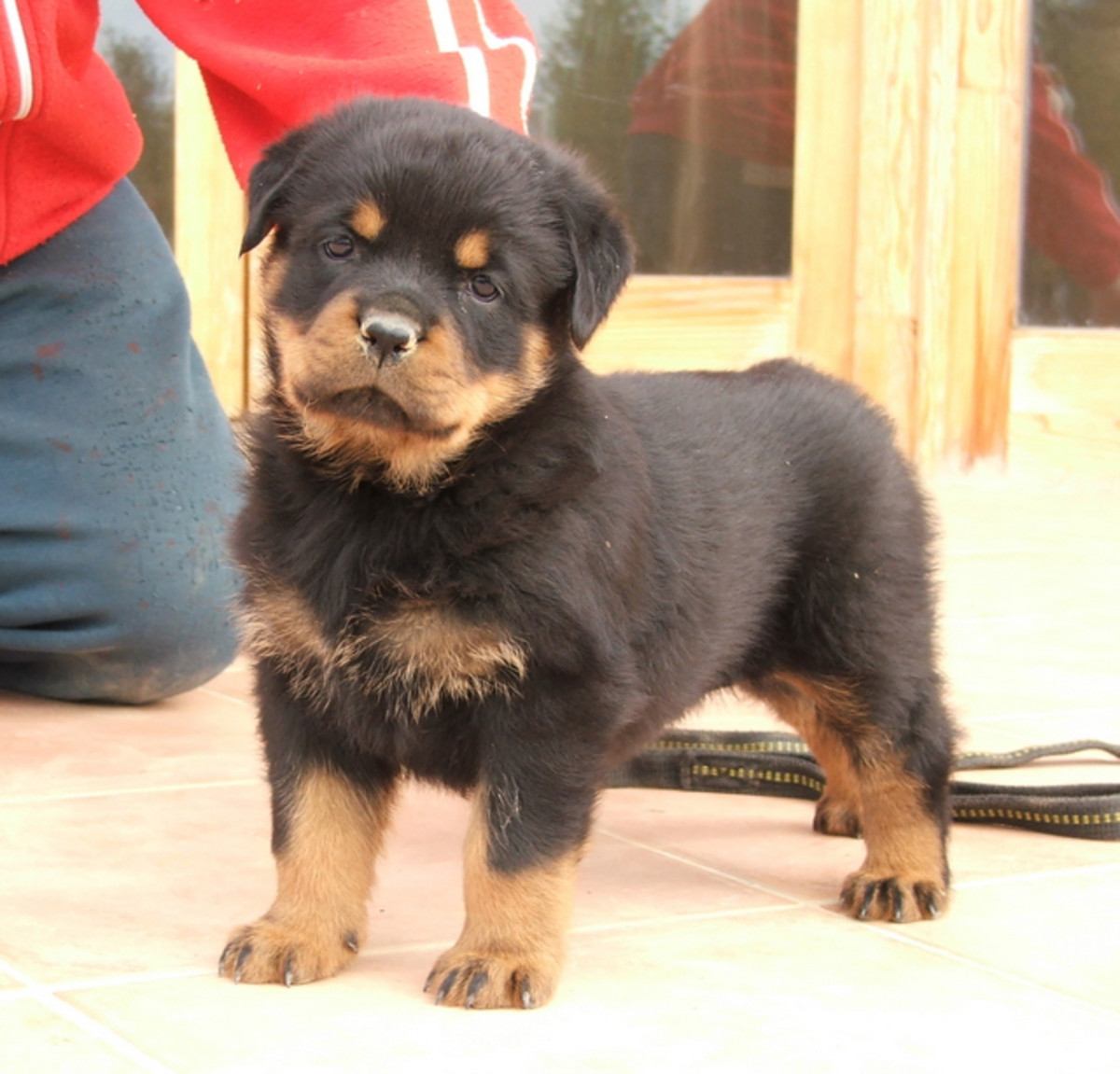 A Rottie puppy.