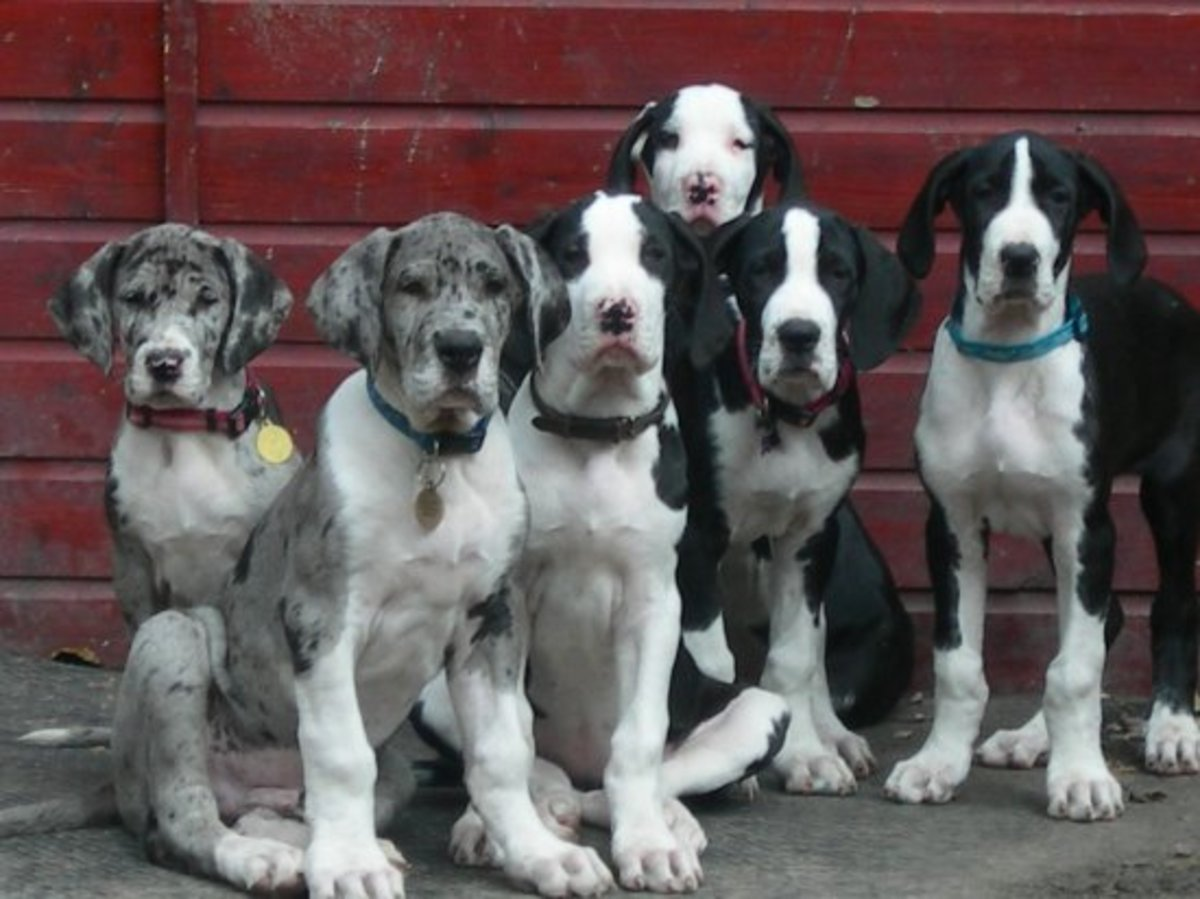 Great Dane puppies.
