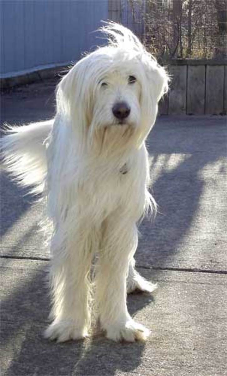 Mastiff Wolfhound Mix Pictures to pin on Pinterest