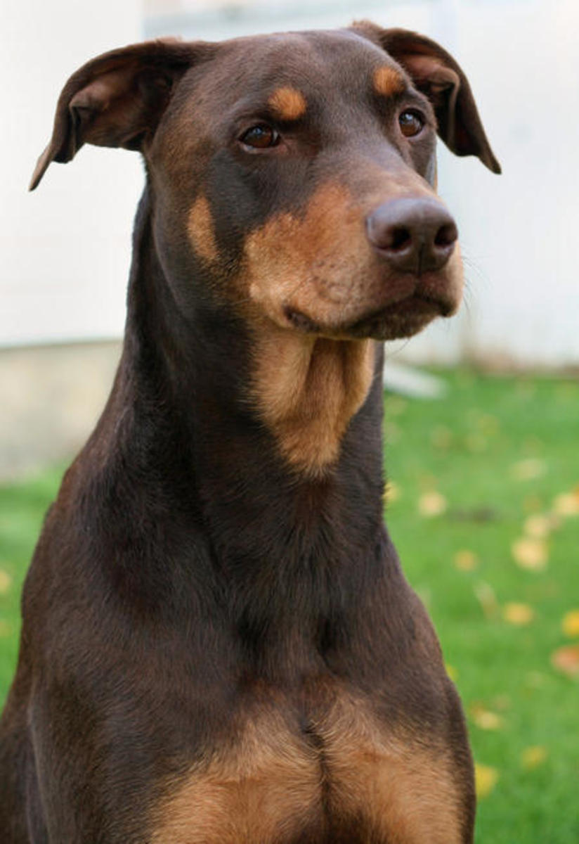 A brown Doberman Pinscher.