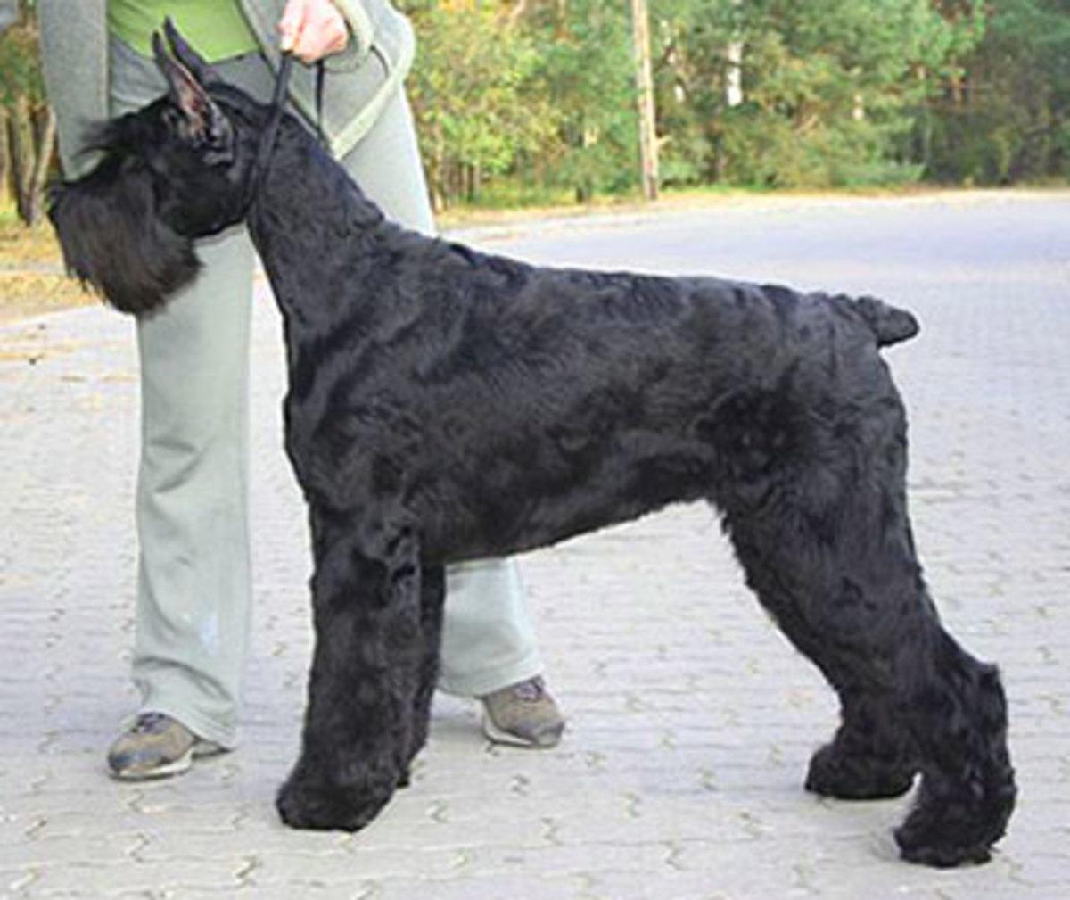 An adult Giant Schnauzer.