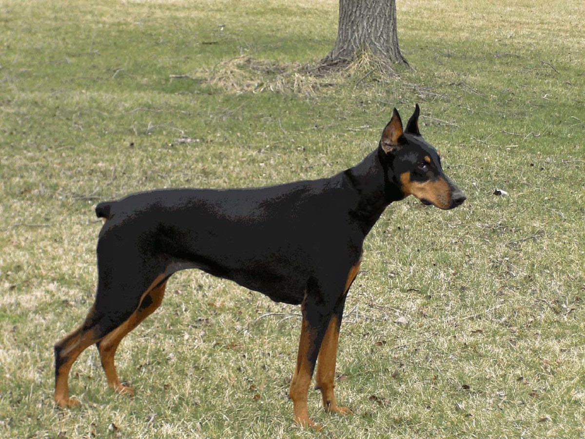A black Doberman Pinscher.