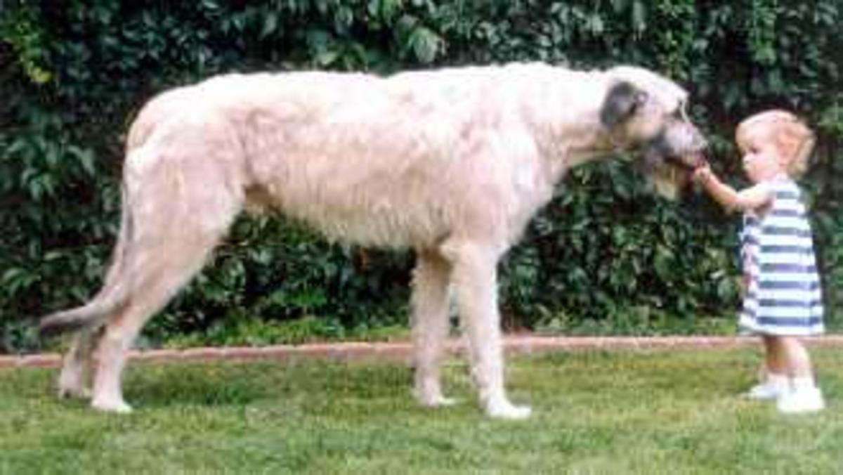 An Irish Wolfhound.