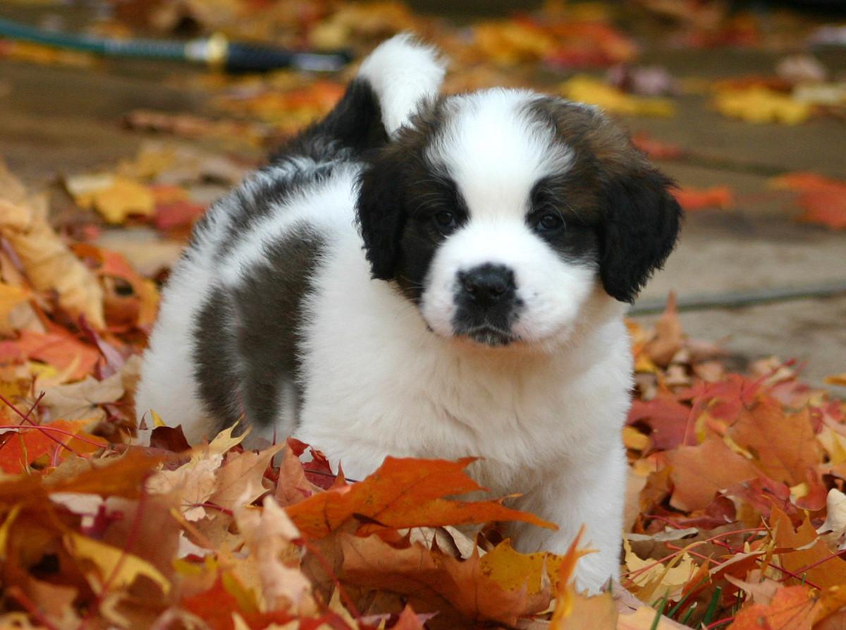 A St. Bernard puppy.
