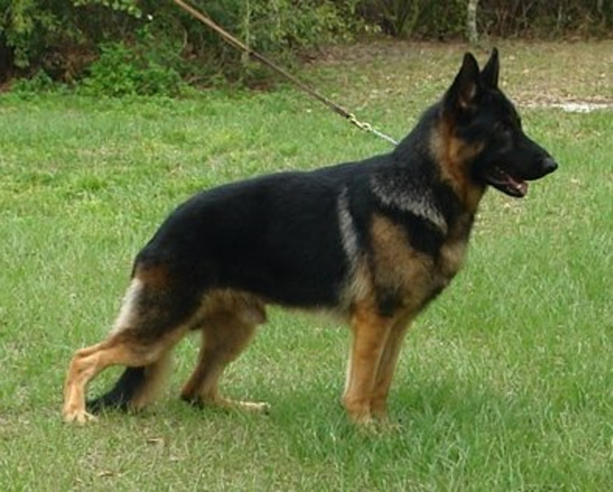 A German Shepherd.