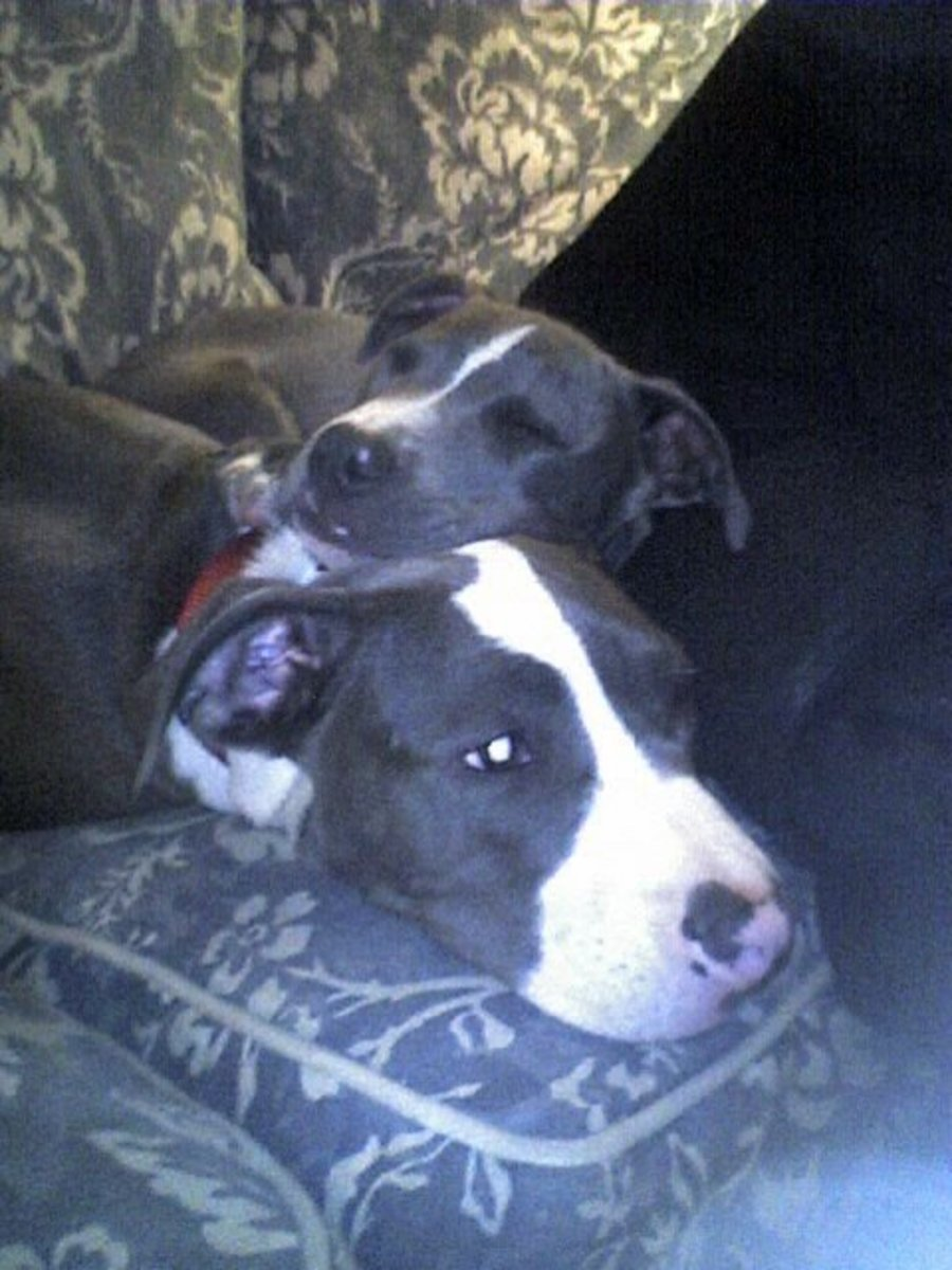 Raider and Stunna (bigger pup) Cousins from the American Pit Bull line