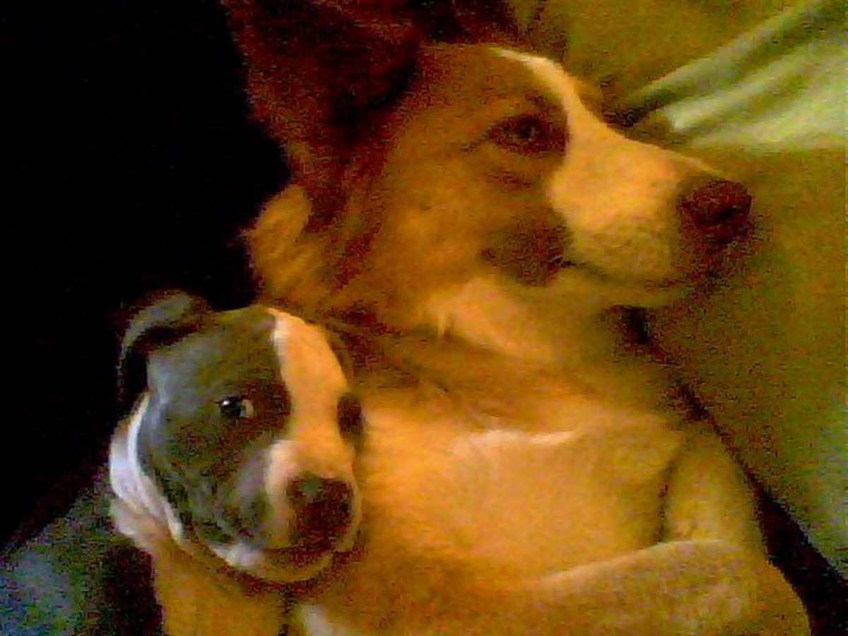 Bo and Karma, my border collie. Karma is a great dog and Stunner, the new pit bull, looks like another great one