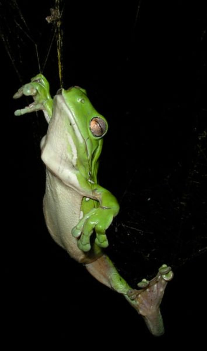This green tree frog survived after being caught in a spider's web while trying to eat the spider.