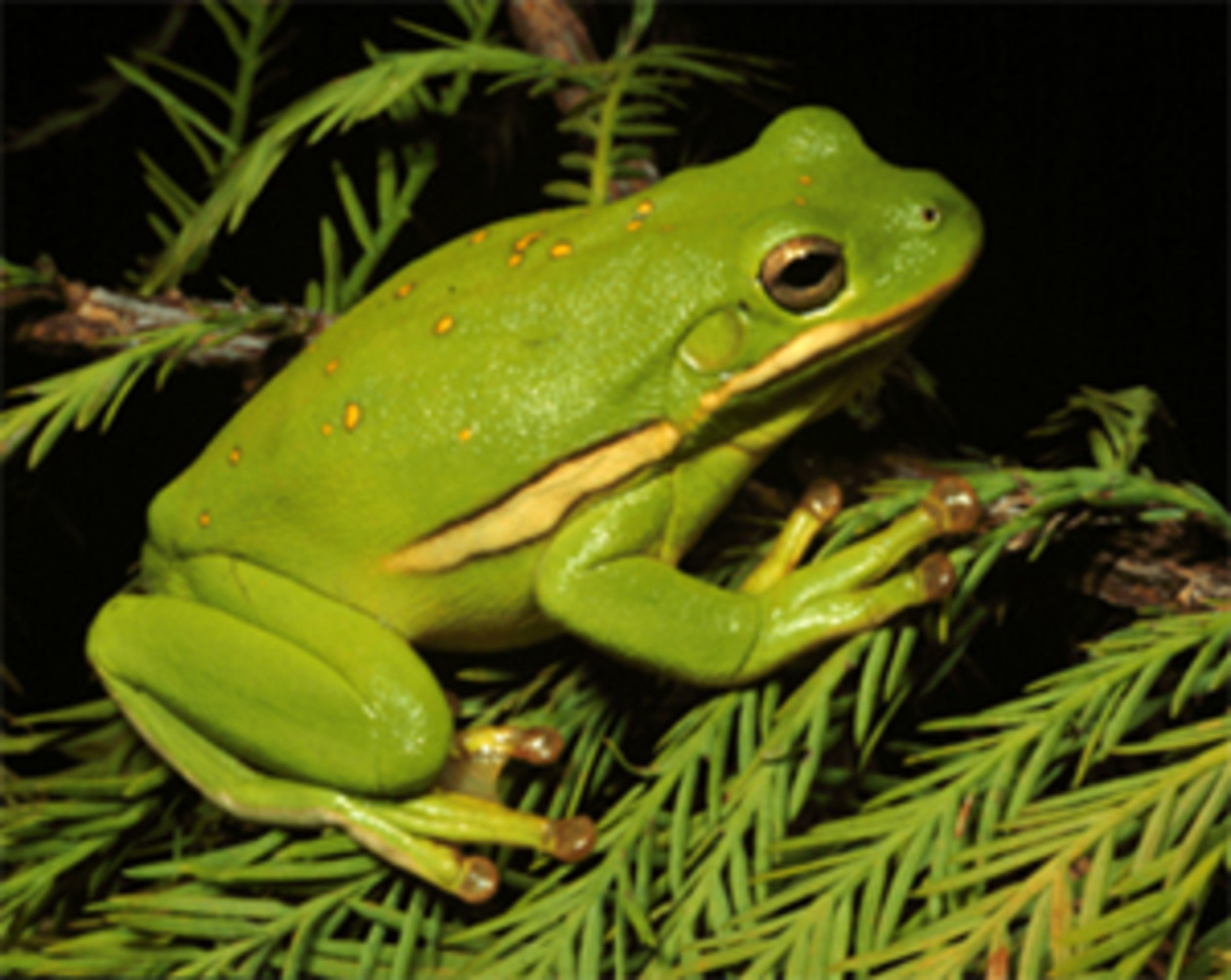"The International Union for the Conservation of Nature and Natural Resources (IUCN) lists the Australian Green Tree Frog as a ""least concern"" species of tree frog."