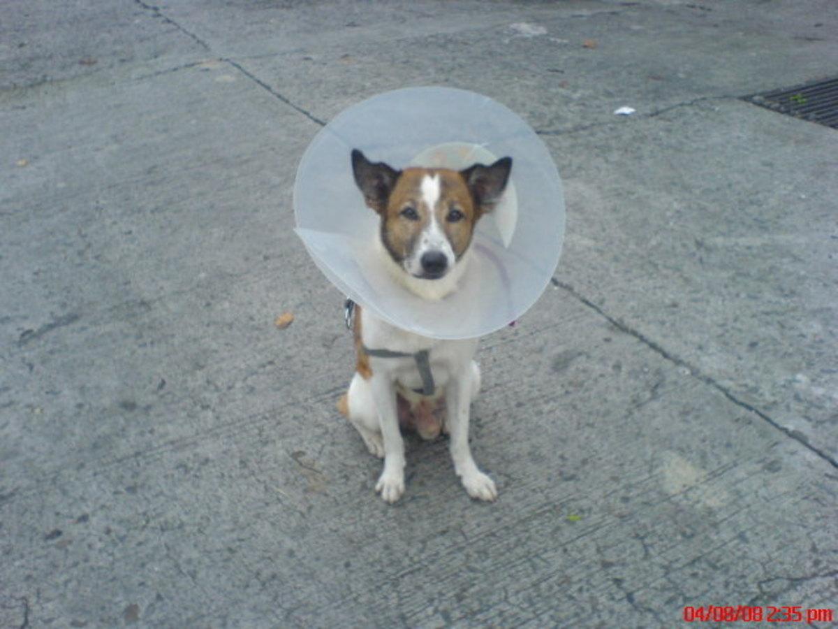 Perineal Hernia In Dogs