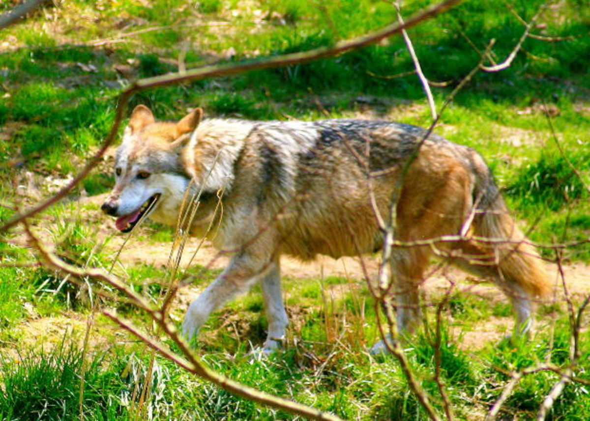 Wolves in captivity behave differently than wolves in the wild.
