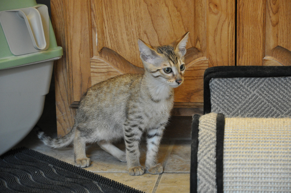 A Savannah Cat F4 kitten