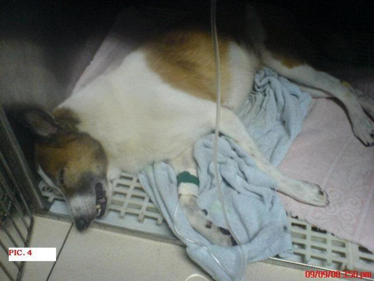 Peso Still Sleeping After his Surgery, this was in 09 September 2008
