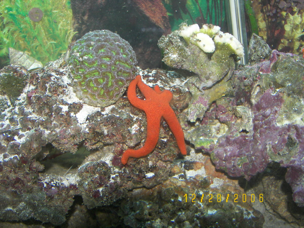 Orange starfish and coral