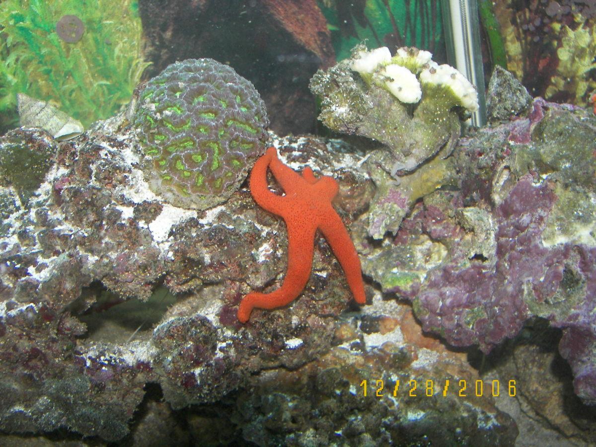 Orange starfish and coral