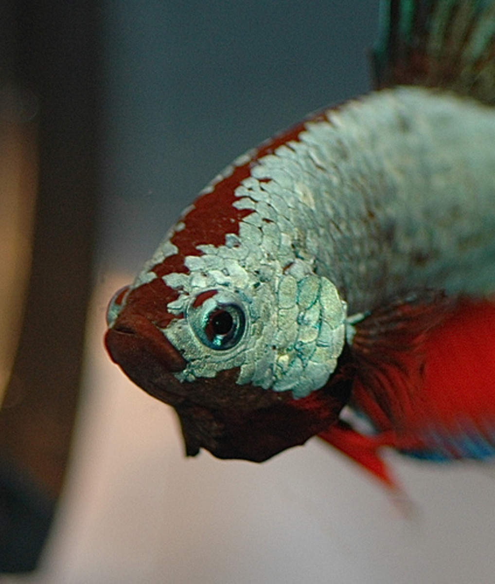 Betta fish can be kept with ADF's as long as there is no aggression between them.