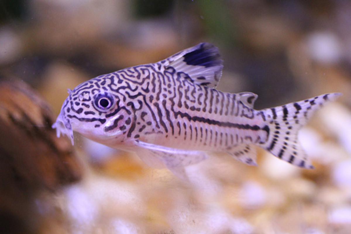 Corydoras catfish are lively yet gentle additions to a dwarf frog tank.