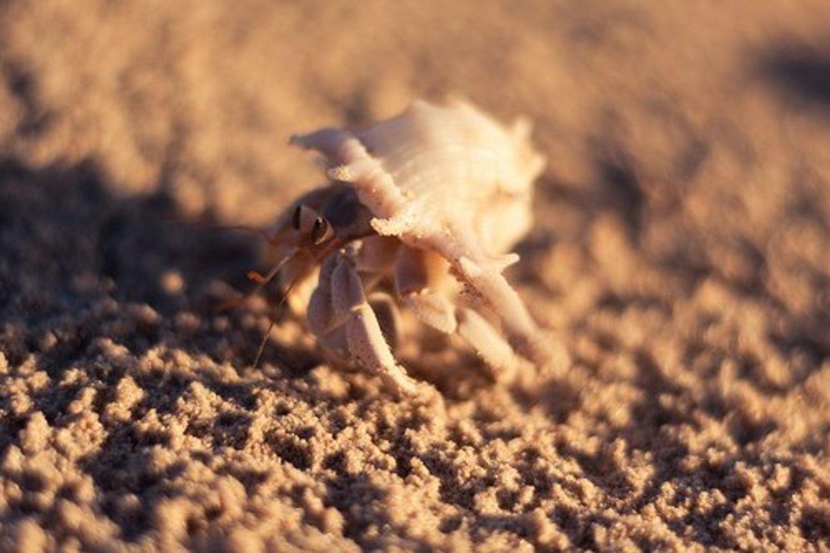 Hermit Crabs Land Hermit Crab Species Pethelpful