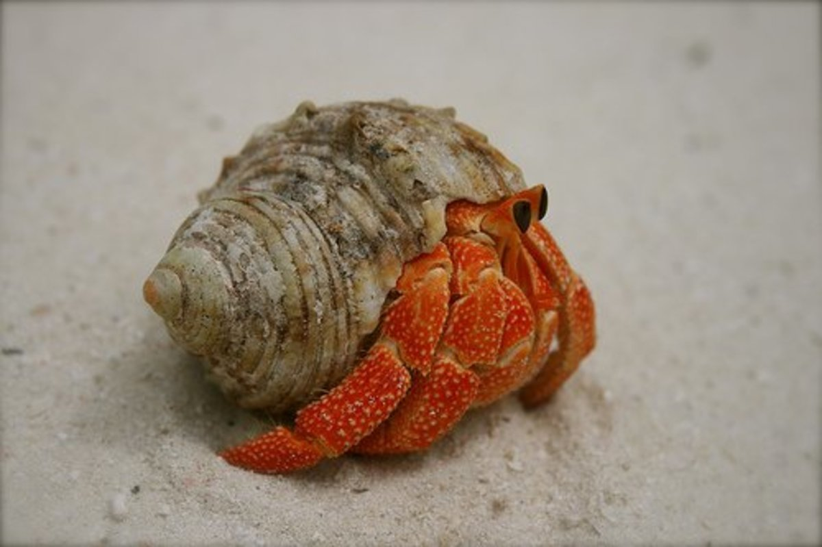 Strawberry Hermit Crab
