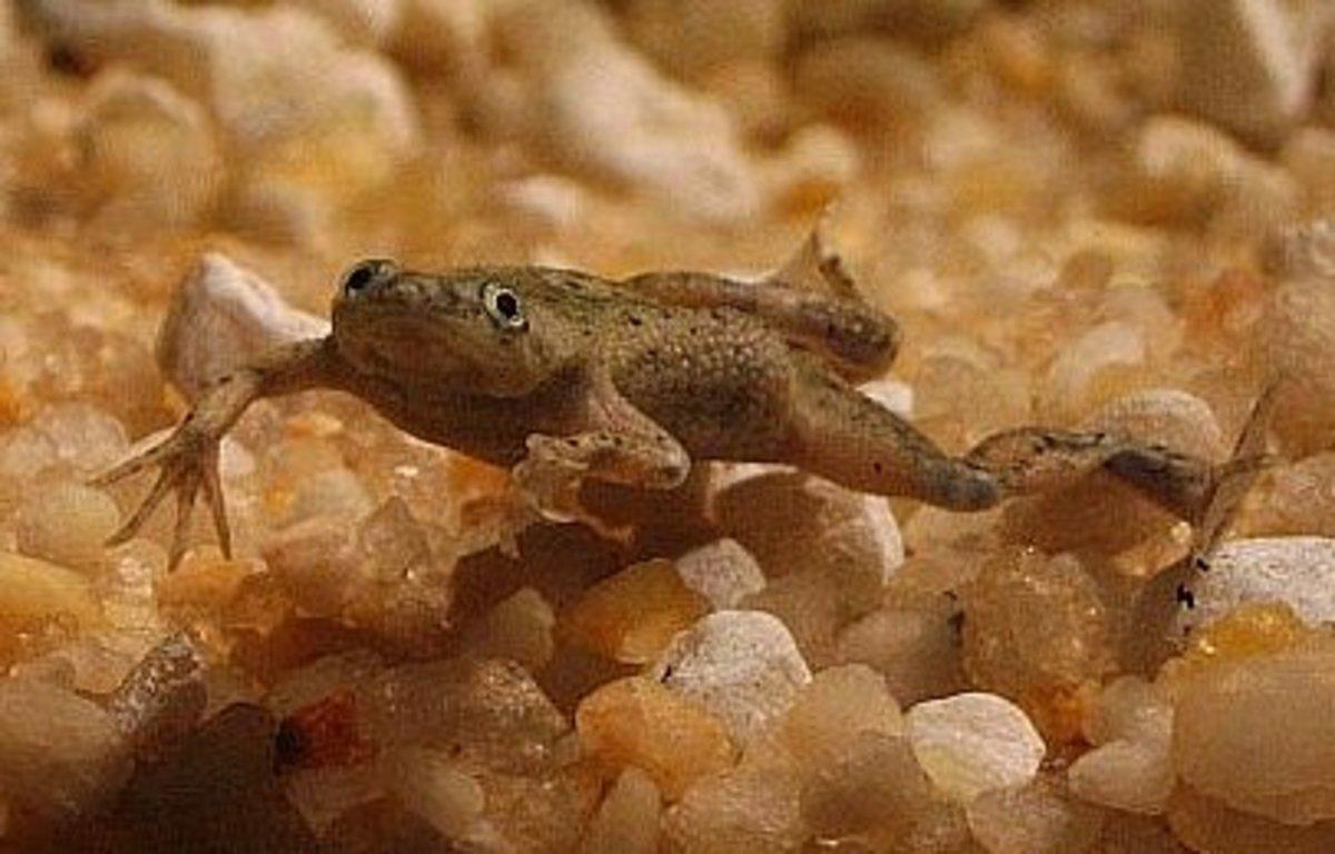 Dwarf Underwater Frog