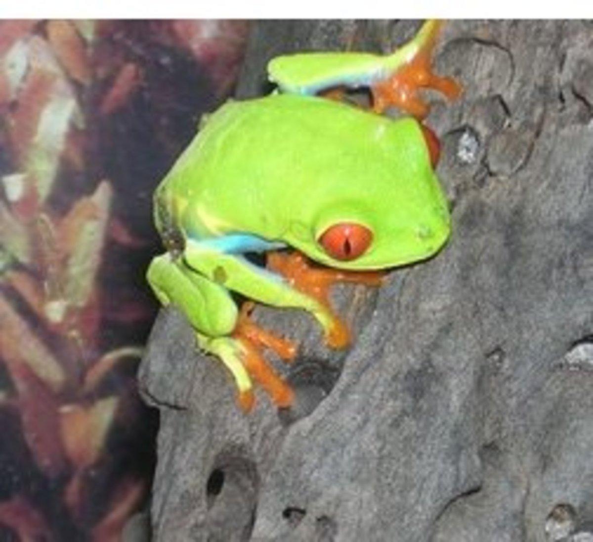 pet-frog