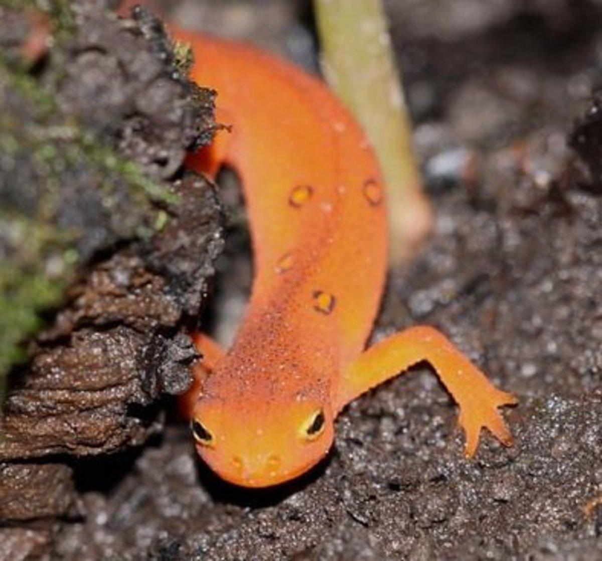 pet-salamanders