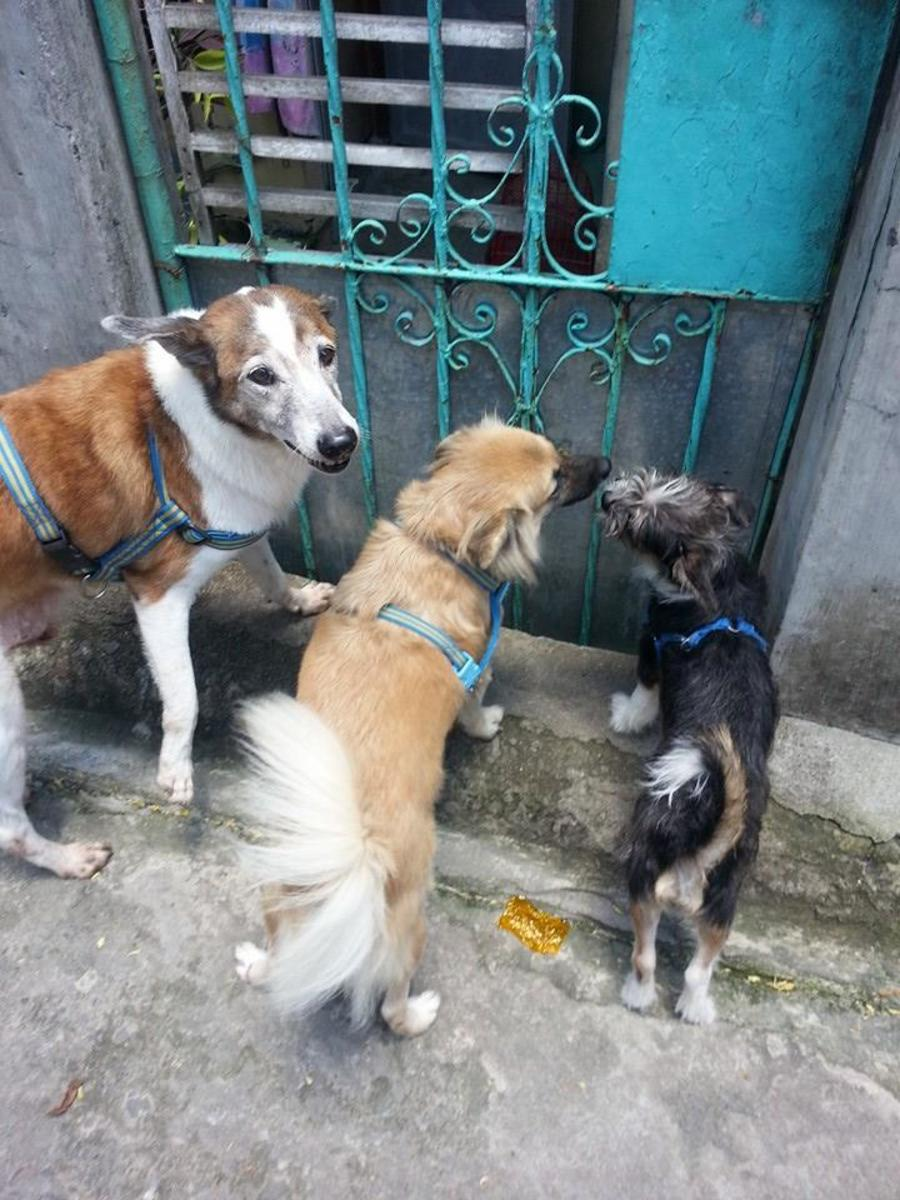 My three dogs at the gate.