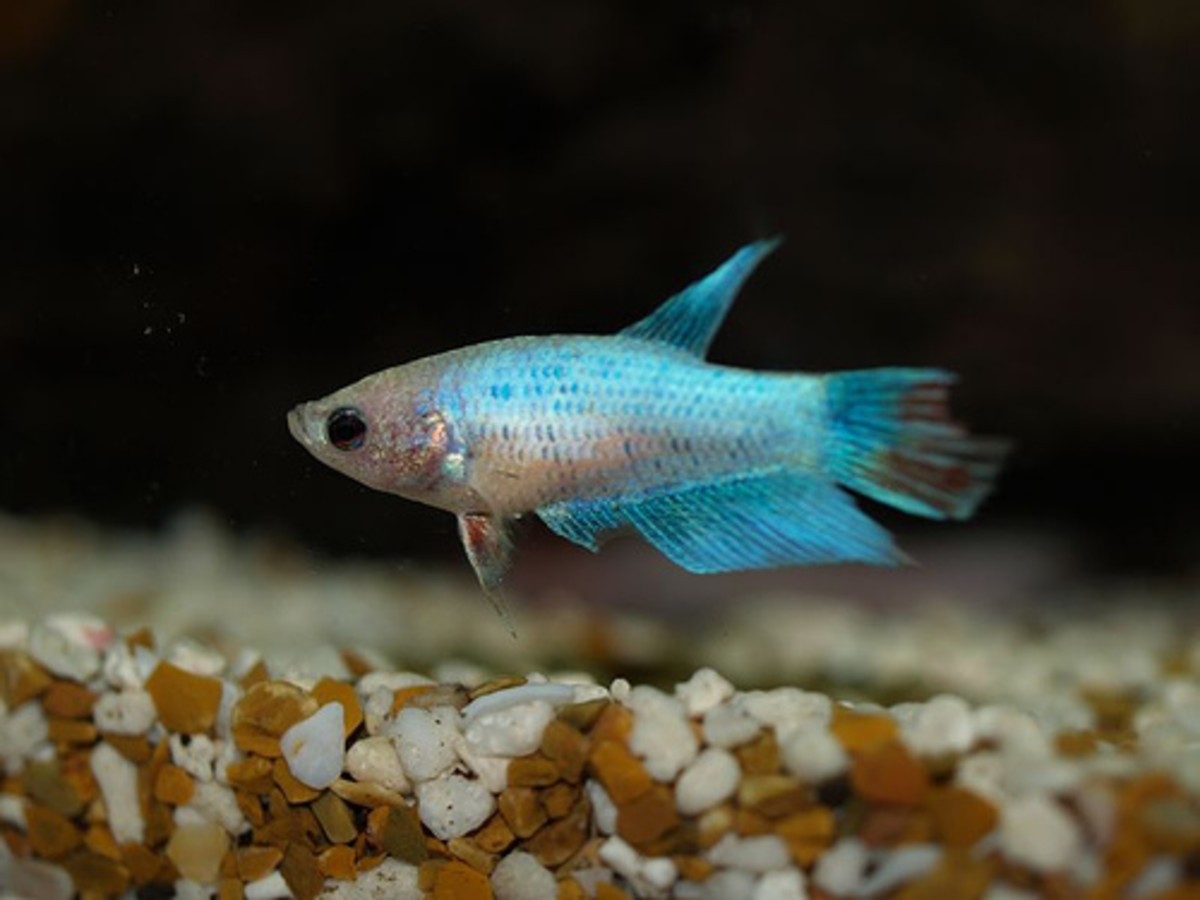 Females are plainter in appearance, but can be kept with other bettas.