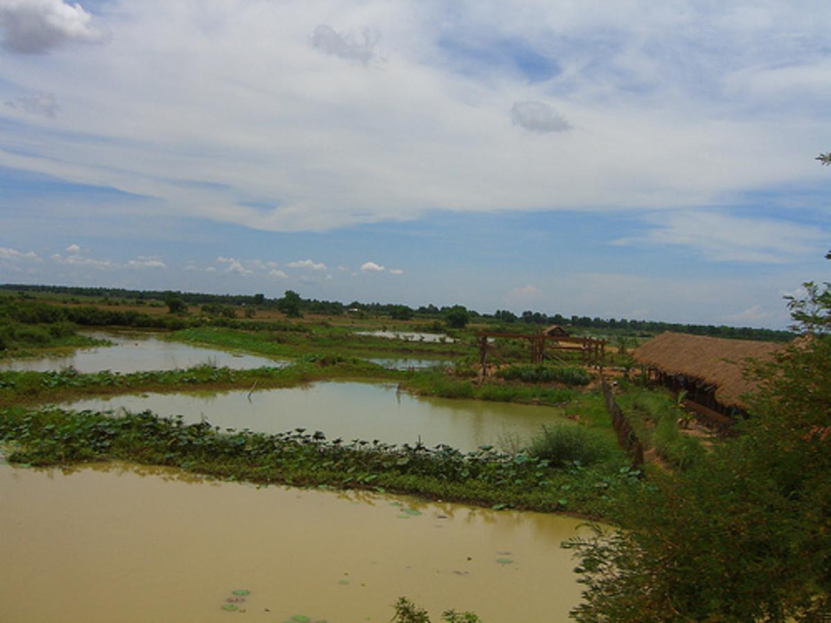 Bettas often inhabit the vast rice paddies of Thailand.
