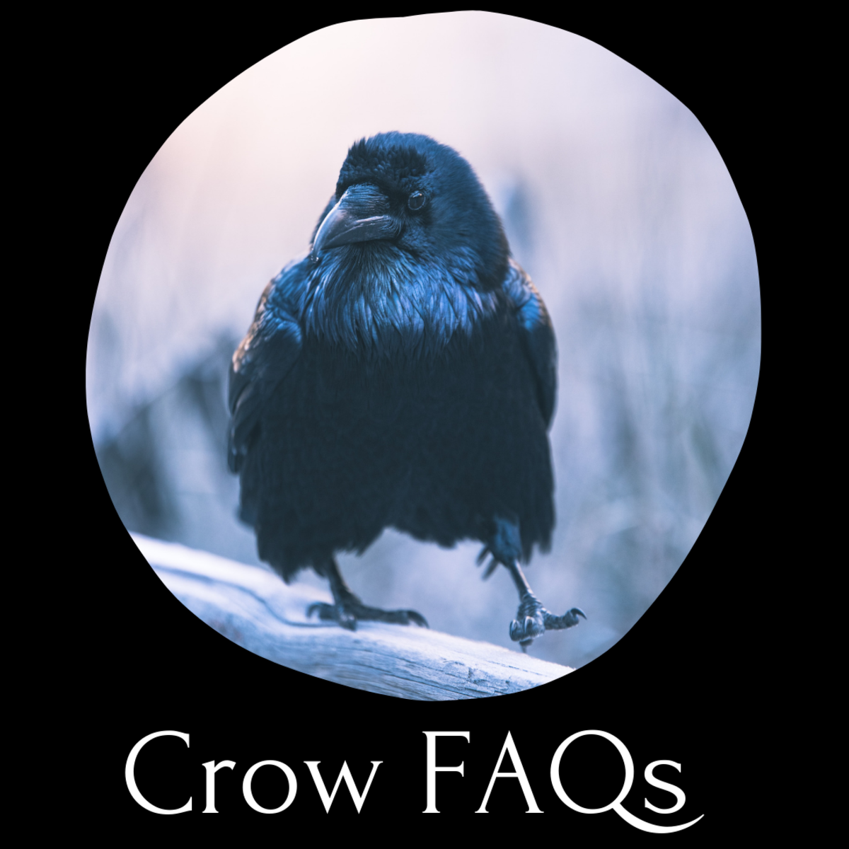 Wondering what crows eat or whether you can keep one as a pet? Read on.