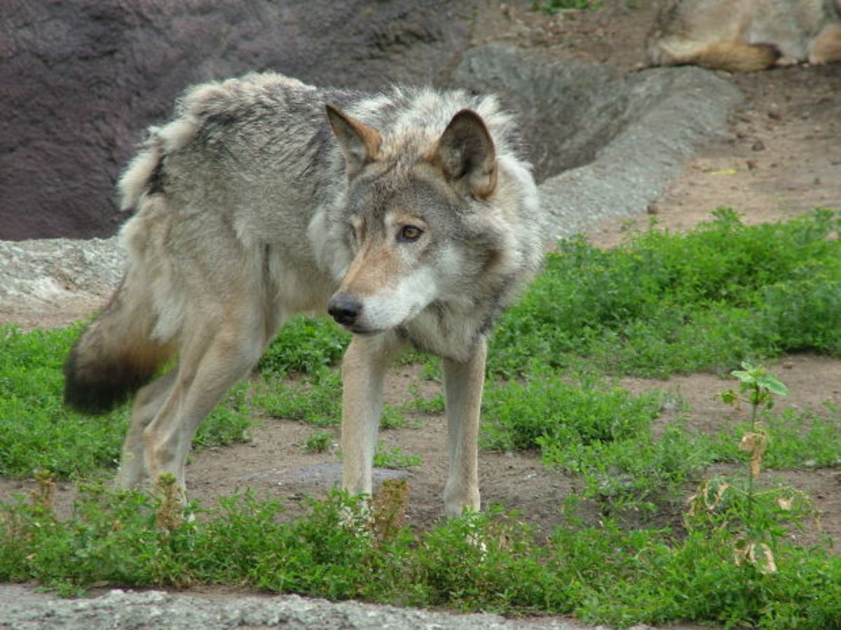 wolves and dog similarities, jak, morguefile.com