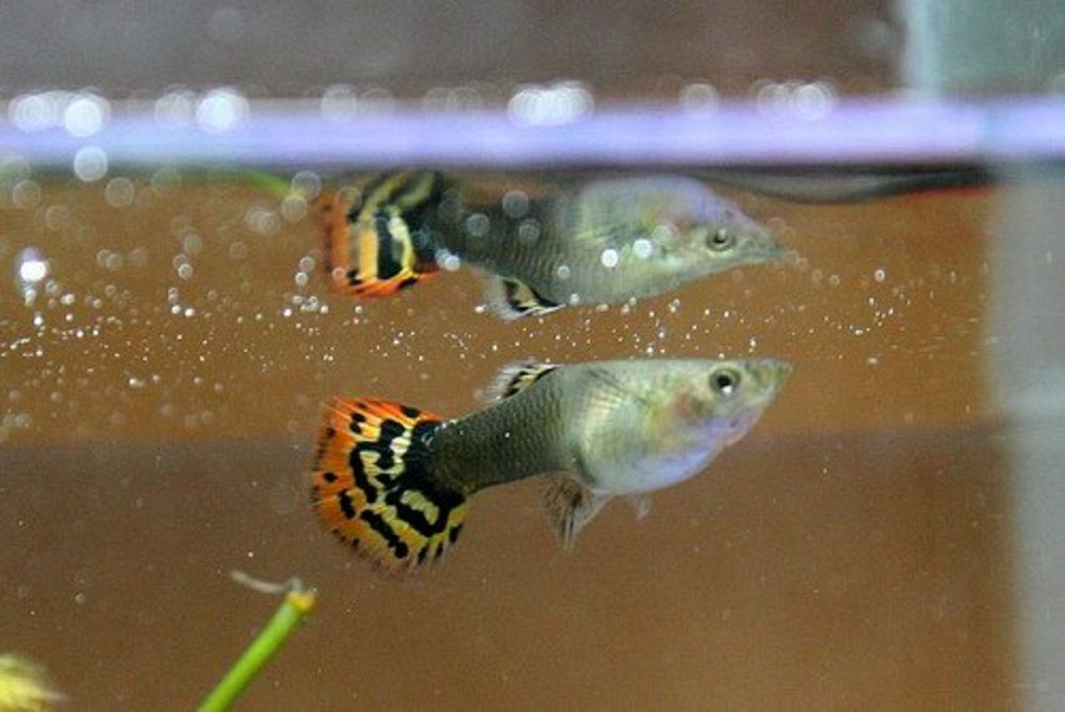 Guppies are popular community fish that can be kept with white cloud mountain minnows.