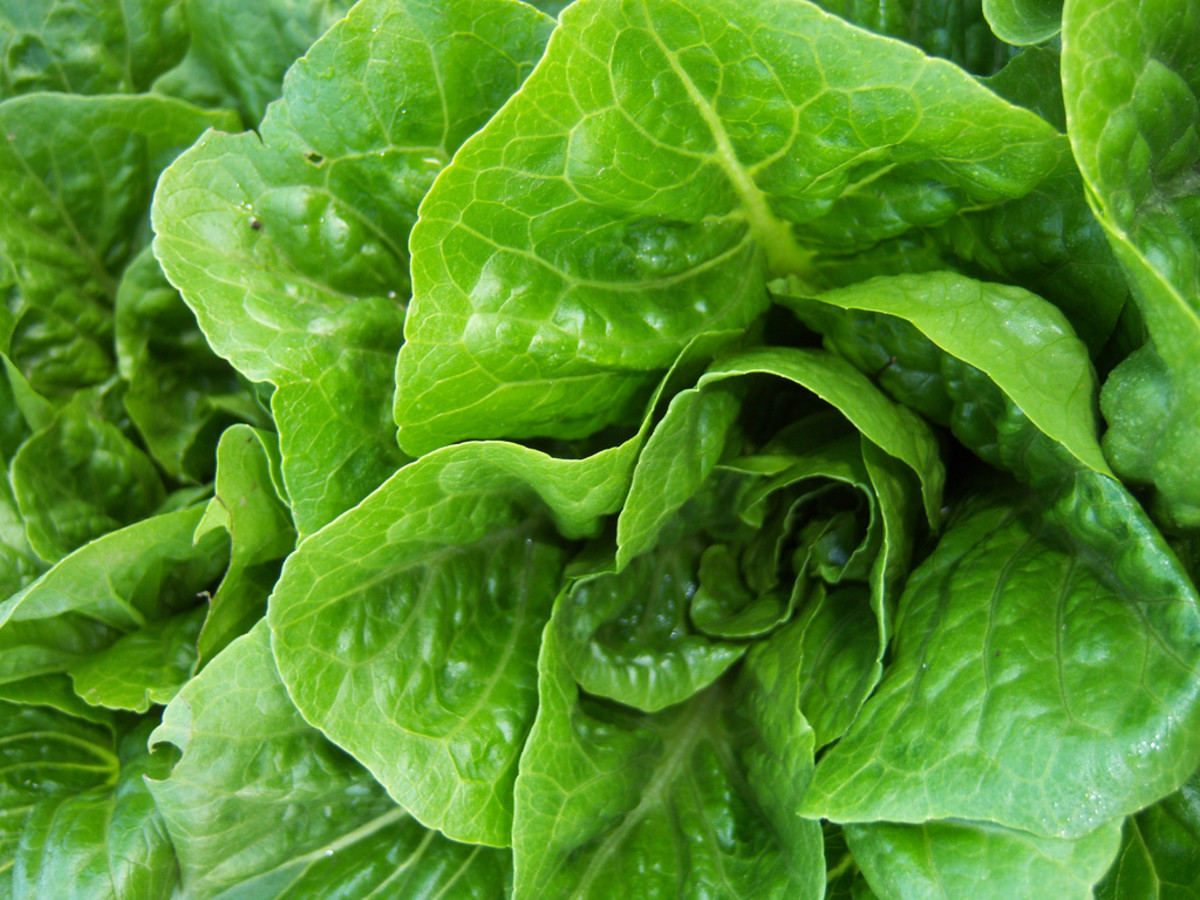 Romaince lettuce is a healthy treat to feed white cloud mountain minnows.