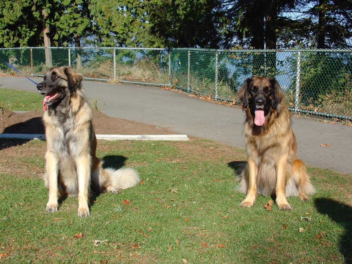 Scala (on the left) and another Leonberger that she met in a park