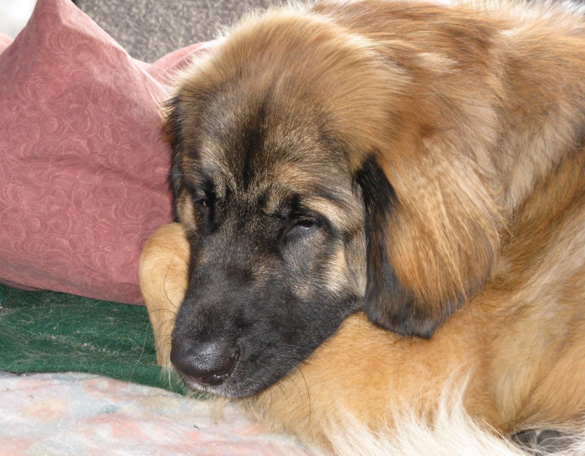 Ryan, a male Leonberger