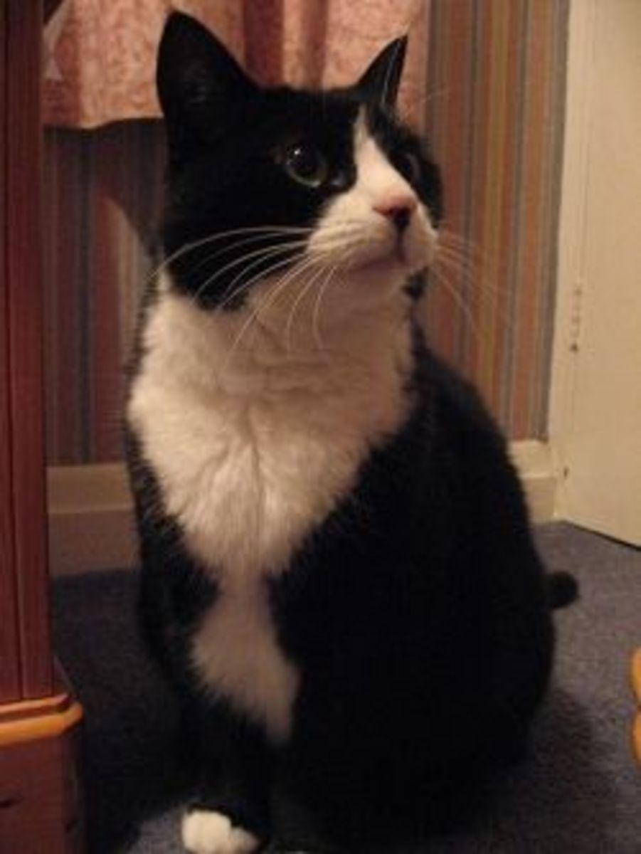 Girl Aristocrat Cat