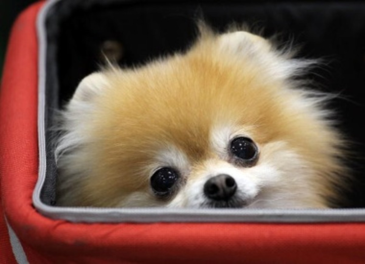 A teacup Pomeranian is a naturally bred teacup dog.