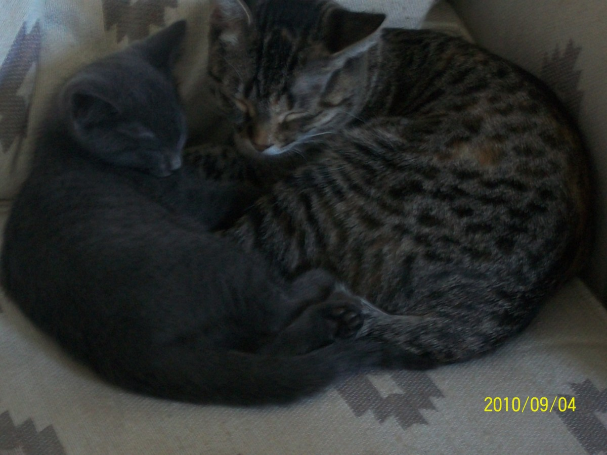 This is a picture of Shiloh, and one of the kittens, Grey Eye, who we kept. Shiloh is not the biological mother, but the two shared a strong attachment.