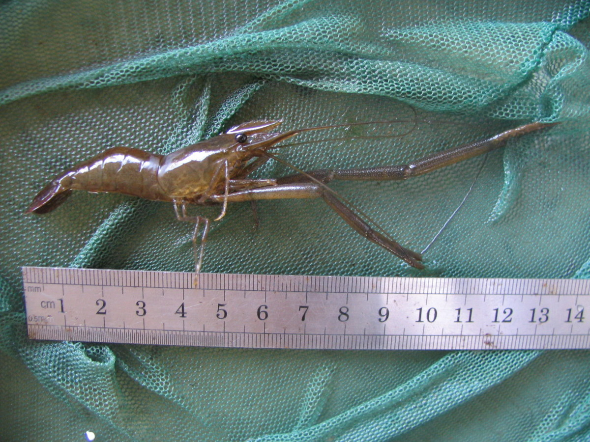 Long-armed shrimp.