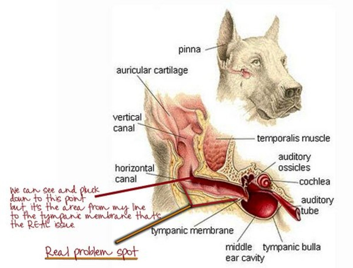 Dogs have L-shaped ear canals in which debris can build up and cause infections.