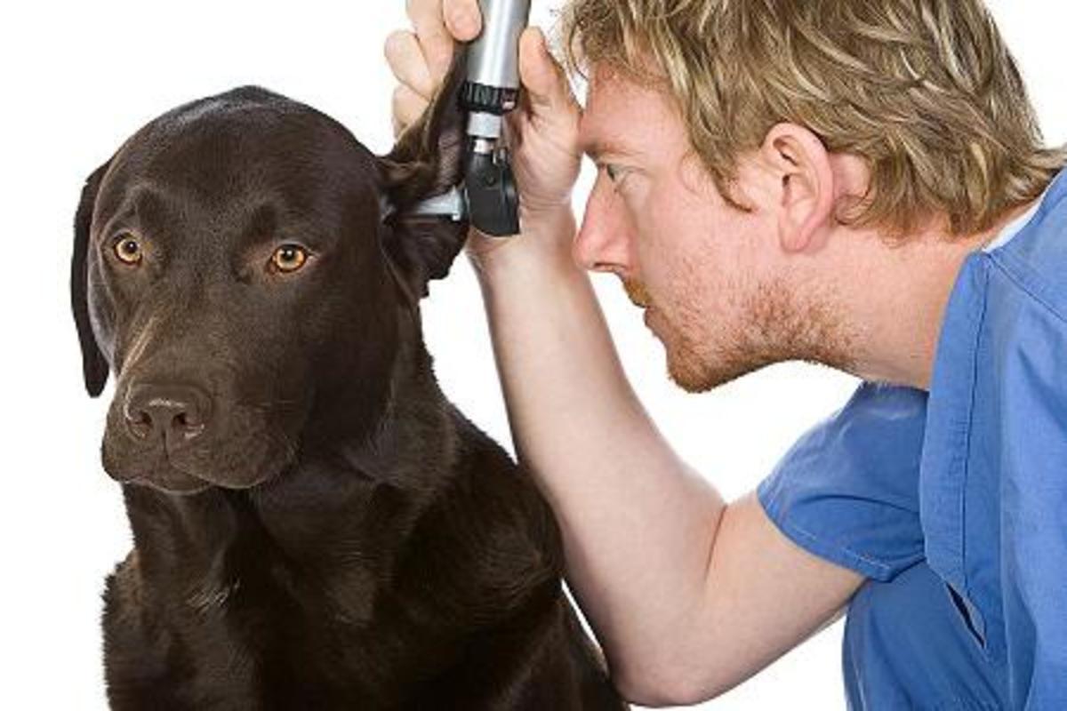 dog-ear-infection-help