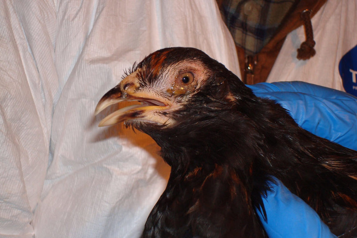 A chicken infected with low pathogenic avian influenza. Photo courtesy of Dr. Nathaniel Tablante