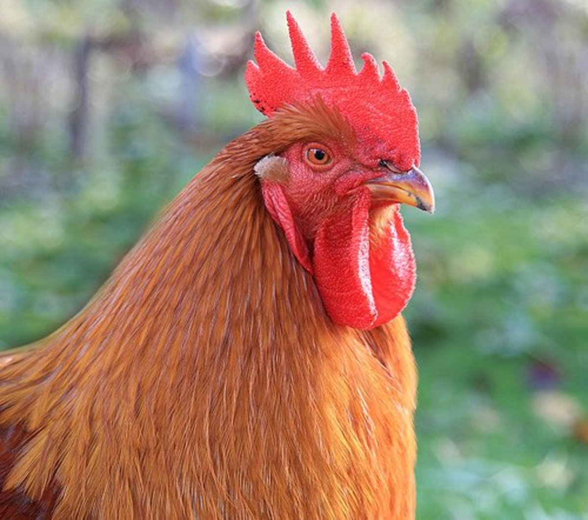 Look Into My Eyes: New Hampshire Hahn rooster with clear eyes.