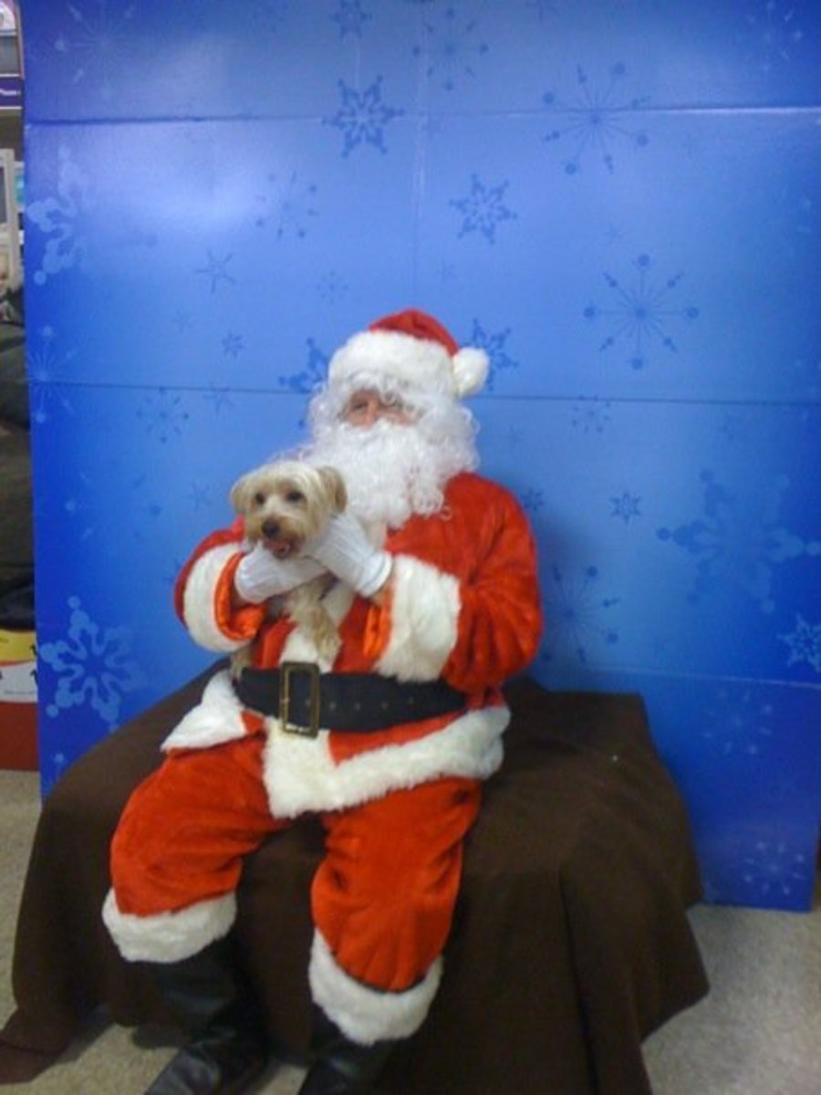 Ginger may be larger than average, but she's not too big to sit on Santa's lap!