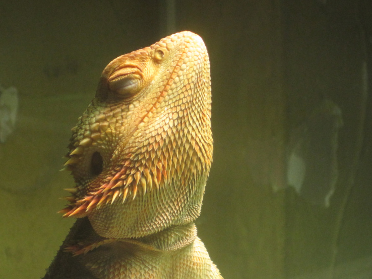 Bearded dragons are renown for their calm behavior and fun demeanor.