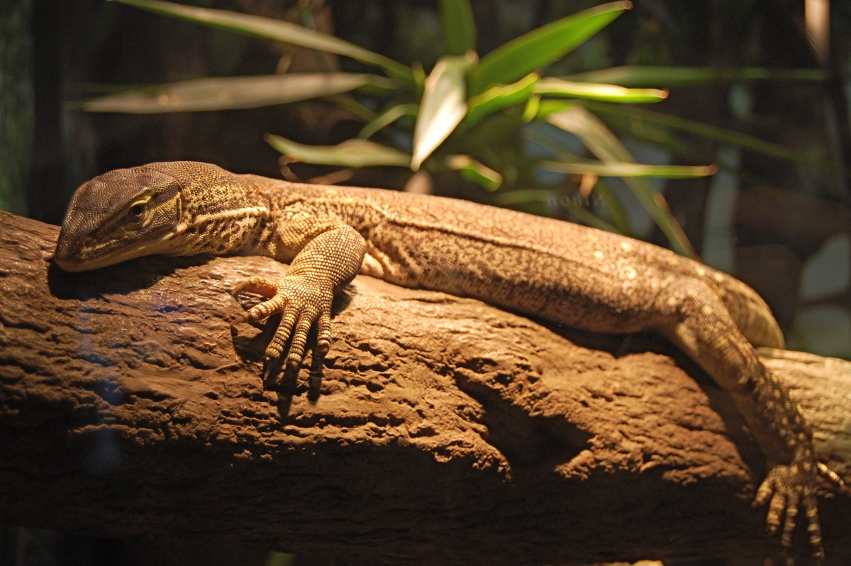 A monitor lizard basking in UV rays.
