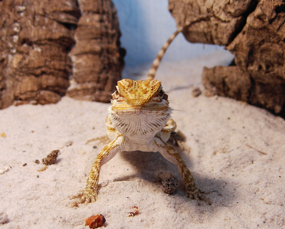Prepare the habitat before taking your lizard home.