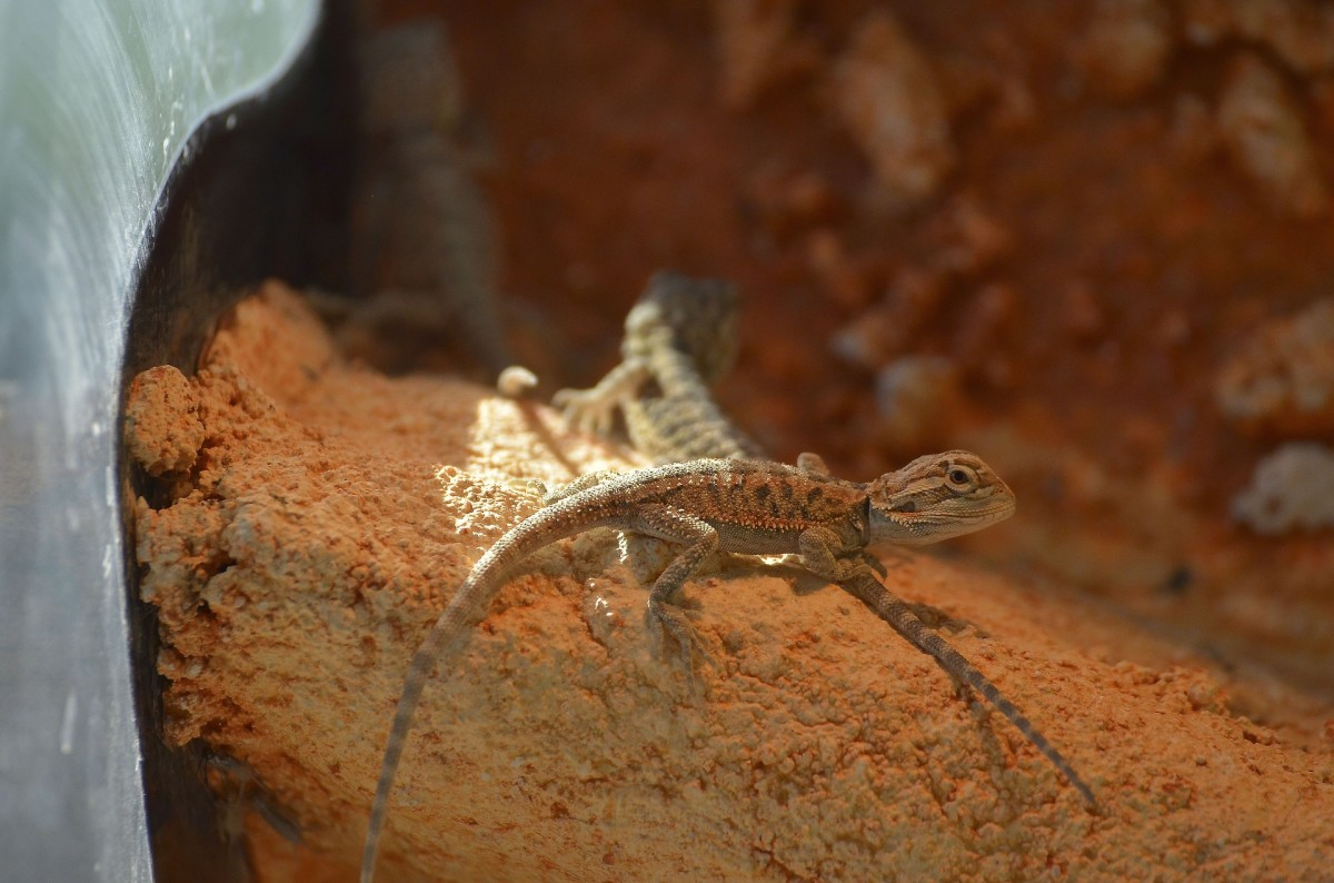 A baby bearded dragon.