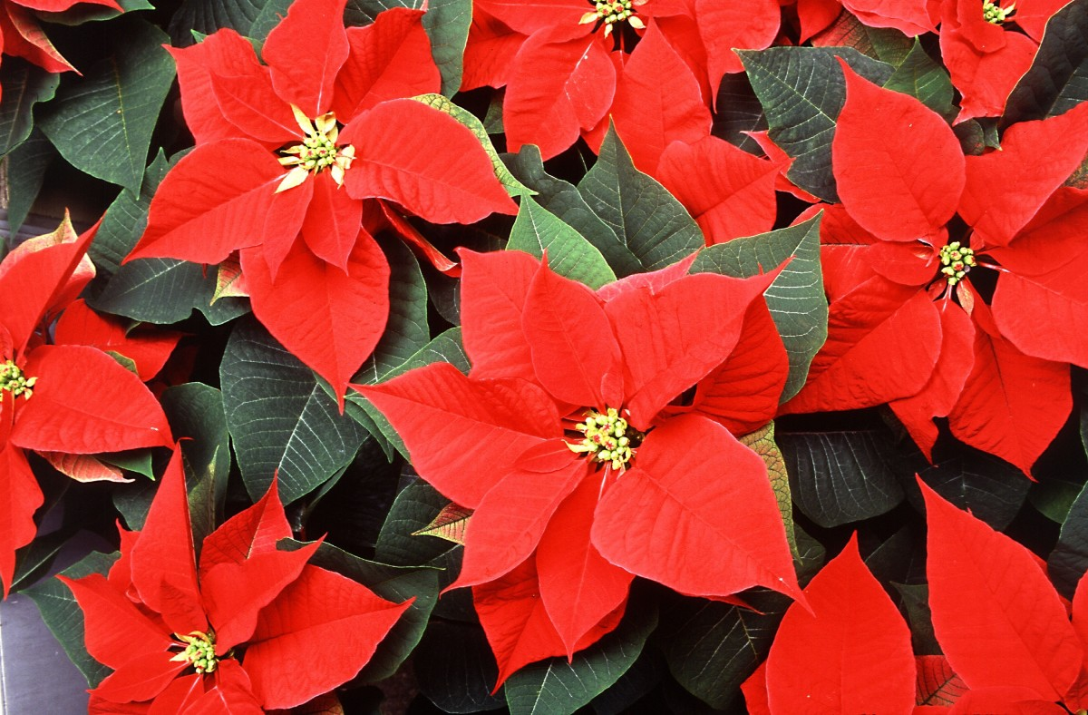 Poinsettias have beautiful Christmas colours.