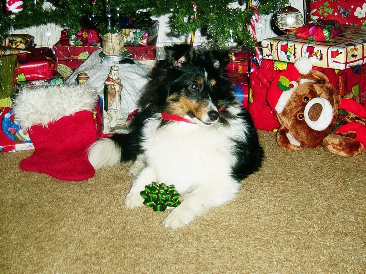 Tank the Sheltie looks like he's ready to enjoy Christmas.